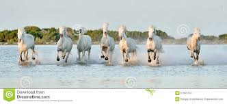 white horses running in water. Contemporary Water Herd Of White Horses Running Through Water In Sunset Light On White Horses Running In Water W
