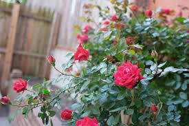 15 varieties of roses to consider for