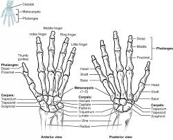 Bone Age Wrist Chart Pin By Zoe Distefano On Human Anatomy Kinesiology Upper