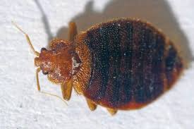40+ Insects In Bed Not Bed Bugs Pics
