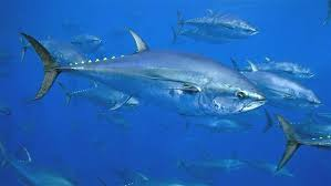 Tuna Fish Size Chart The Story Of Atlantic Bluefin The Pew Charitable Trusts