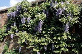 Best 25 Climbers For Shade Ideas On Pinterest  Climbing Wall Climbing Plants For Shade