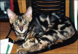 marble bengal cat.  Bengal Ramses A Gorgeous Top Quality Marble Bengal Male At 7 Months Old On Marble Cat E