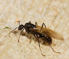 carpenter ant pic. Modren Carpenter Carpenter Ant Swarmers And Ant Pic I