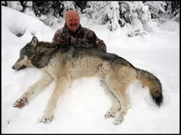 grey wolf size the wolf station had better results with 3 wolves and one being a