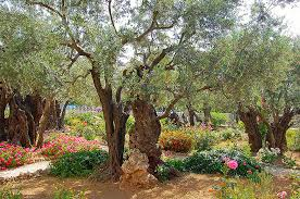 traditional garden of gethsemane on mount of olives photo by don knebel
