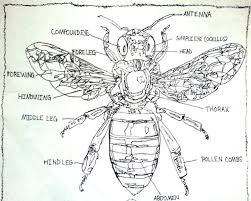 Labelling Art Labeled Diagram Of The Honey Bee Drawing By Pamela Starr Saatchi Art