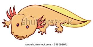 Small Picture Mexican Axolotl Stock Images Royalty Free Images Vectors