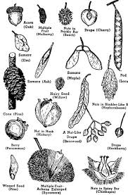Pin By Andrea Hoyt On Notable Plants Tree Seeds Tree