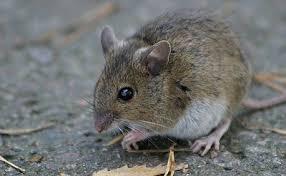 ネズミ 21
