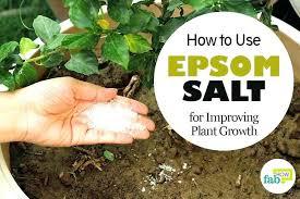 epsom salt in the garden salts garden salts dosage for gardenias salts garden epsom salt gardenia epsom salt in the garden