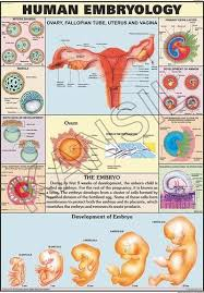 Human Embryology For Human Physiology Chart
