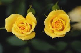 yellow flowers wallpapers hd pictures one hd wallpaper pictures backgrounds free