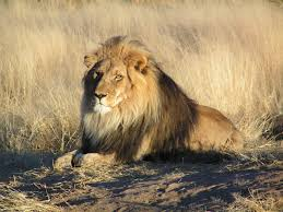 lion lion waiting in jpg