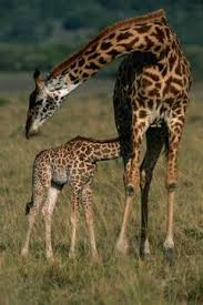 pictures of a giraffe. Delighful Pictures Anup ShahPhotodiscGetty Images On Pictures Of A Giraffe