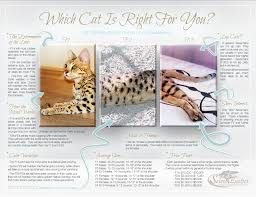 savannah cat chart f1 thru f5 savannah cat size guide african cats savannah