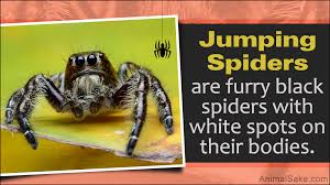 Light Brown Spider With White Spot On Back Have You Seen A Black Spider With A White Spot On Its Back