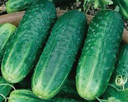 Image result for images of pickling cucumbers