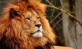 Lev Význam Tetování Potetovatcz