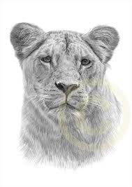 lioness face drawing. Unique Lioness Lioness Pencil Drawing  Lioness Drawing Pencil Print Intended Face I