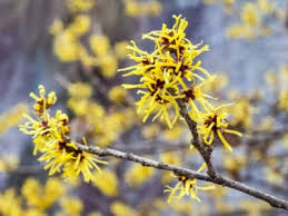 growing chinese witch hazel shrubs