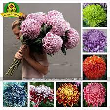 chinese mum plant chrysanthemum 200pcs rare perennial flower indoor bonsai plants for home garden mixed color