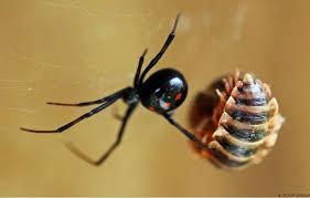 Cận cảnh nhện 'góa phụ áo đen' nổi tiếng ăn bạn tình