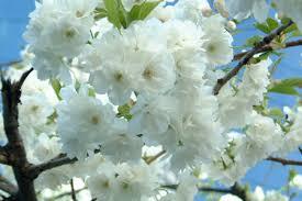 Kết quả hình ảnh cho hoa bạch tuyết mai