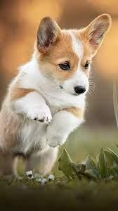 Corgi Puppy Pet Dog 4K Ultra HD Mobile ...