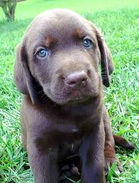 chocolate lab with blue eyes. Will Have Chocolate Lab Puppie With Blue Eyes She Be Named Cocoa In