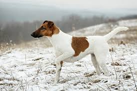 Smooth <b>Fox</b> Terrier Dog Breed Information