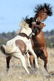 wild horses mustang fighting. Brilliant Fighting Mustangs WildFerrel Horses Read More Fighting Stallions Throughout Wild Horses Mustang S