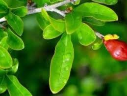 Plant Identification SystemGreen Fruit Tree Identification