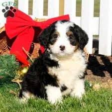 a bernedoodle miniature puppy named gina