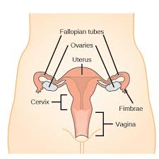 Female Organ Chart The Reproductive System Review Article Khan Academy