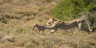 lioness hunting. Simple Lioness Lionesshuntsredhartebeest  On Lioness Hunting U