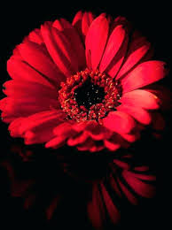 Red Flower Wallpaper Black Wallpaper With Flowers Download Wallpaper A Flowers With Black