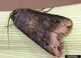 Black Cutworm Agrotis Ipsilon On Corn Zea Mays 5465684