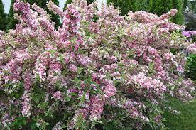 Flowering Shrubs By SeasonShrub With Pink Flowers