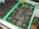 Obţinerea răsadurilor de legume ghid pentru ncepători