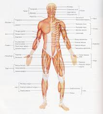 Human Body With Muscles And Bones - Human Anatomy Chart