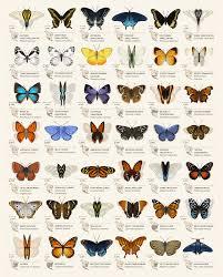 Moth Identification Chart Butterfly Identification Chart On Behance