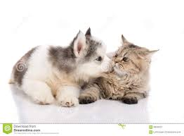 cute puppies and kittens kissing. Unique Puppies Cute Siberian Husky Puppy Kissing Cute Kitten On Puppies And Kittens Kissing Y