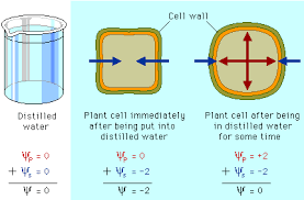 Water Potential Equation Pearson The Biology Place