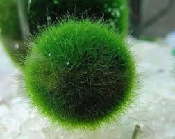 Decorating With Moss Balls Moss ball Etsy 60