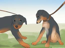 Rottweiler Puppy Growth Chart How To Care For A Rottweiler Puppy 14 Steps With Pictures