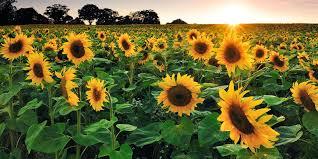 25 best sunflower fields near me top sunflower fields mazes in the u s