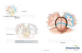 primary motor and somatosensory cortex with homunculi