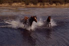 wild horses running through water. Modren Through Wild Horses Running Through Water  Photo4 Intended Horses Running Through Water E