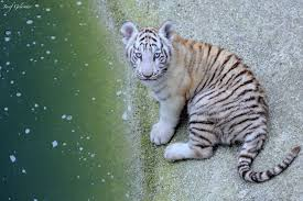 baby white tigers in water. Modren Tigers White Tiger Cub By The Water Josef Gelernter On 500px Intended Baby Tigers In